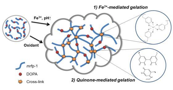 홍합접착단백질 기반 하이드로젤 시스템