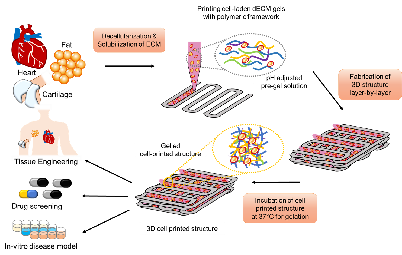 그림 1. 탈세포화 된 조직을 사용하여 3차원 세포 프린팅 된 인공 조직의 제작 과정 및 이의 다양한 분야로의 적용