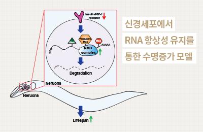 생명 이승재 교수팀, RNA와 노화의 상관관계 규명
